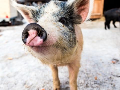 Alpenschweinderl Lotte